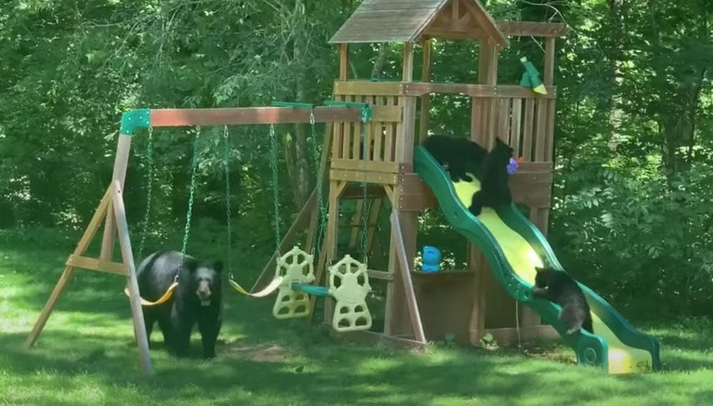 Awww: Bear Family Enjoying A Backyard Playground Set