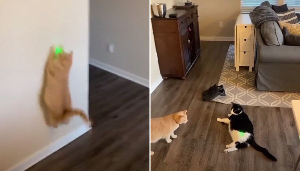 Smart Thinking: Cat Chasing Laser Stops When Beam Lands On Bigger Cat
