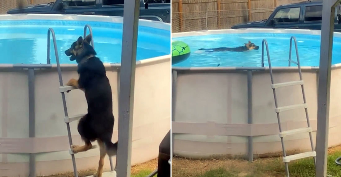 German Shepard/Husky Mix Climbs Ladder To Sneak Into Pool For A Swim