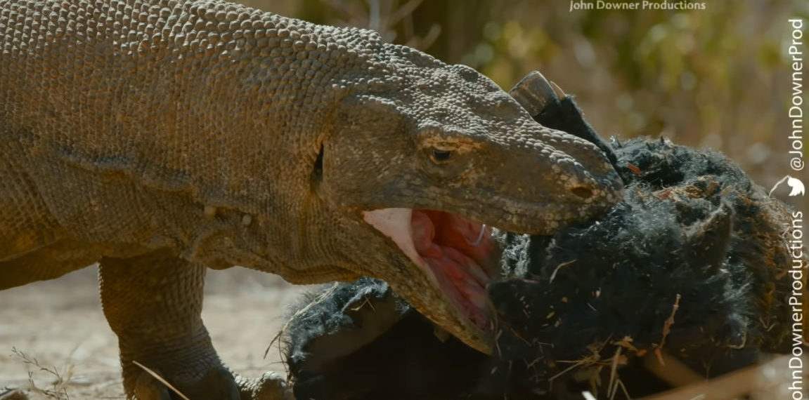 Robotic Spy Pig Captures Up Close And Personal Footage Of Komodo Dragons