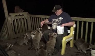 'Raccoon Whisperer' Feeding A Bunch Of Local Raccoons From His Hot Dog Bucket