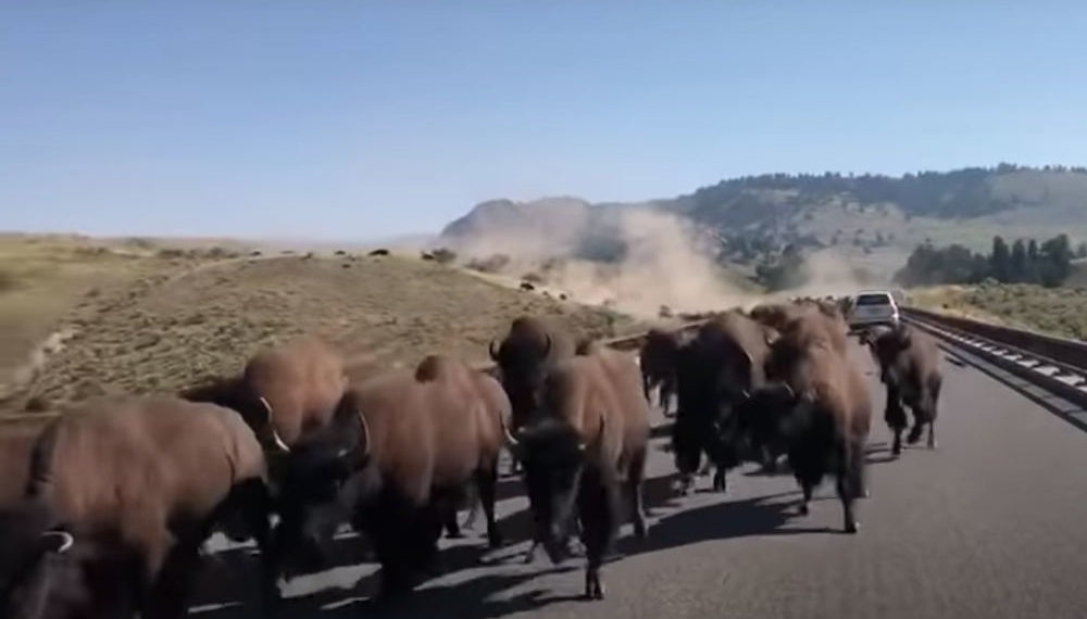 Coming Through!: Bison Stampede Passing Car In Yellowstone