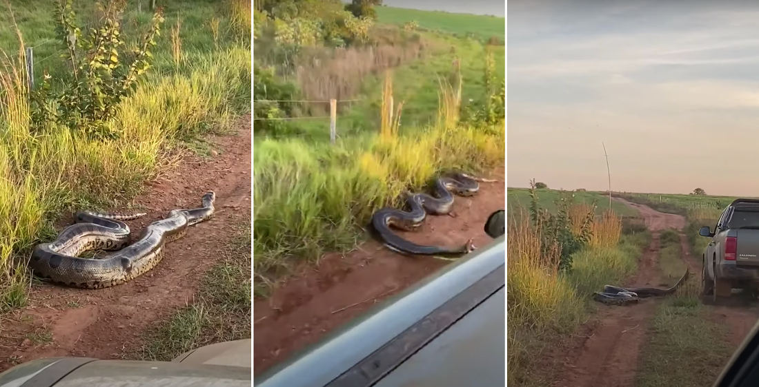 Massive Roadside Anaconda Lunges At Passing Truck