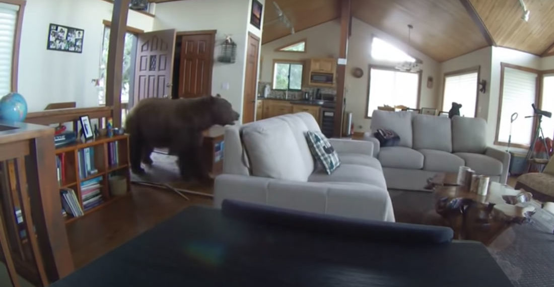 I'm Coming In!: Huge Bear Smashes Through Front Door Of Cabin