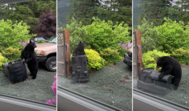 There Can Be Only One: Bear Vs Bear-Proofed Garbage Can