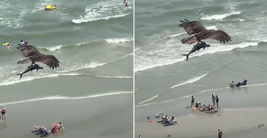 Good Lord: Osprey Flying With Giant Fish In Talons Above Beach