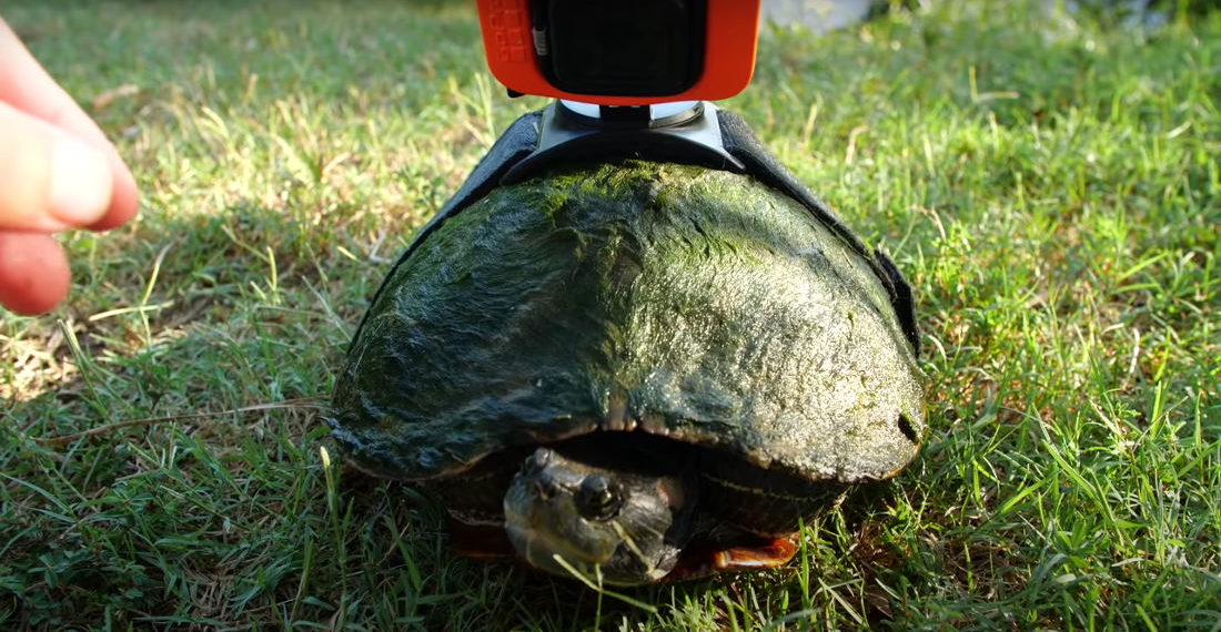 Cool View: Guy Attaches GoPro To Turtle To Watch It Swim Around Pond