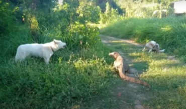 *whip sound* : Giant Monitor Lizard Tail-Whips Dog To Defend Itself