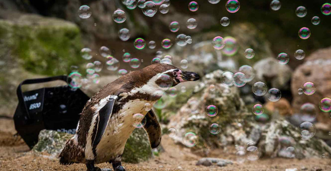 Awww: Penguins Chasing Bubbles At The Zoo