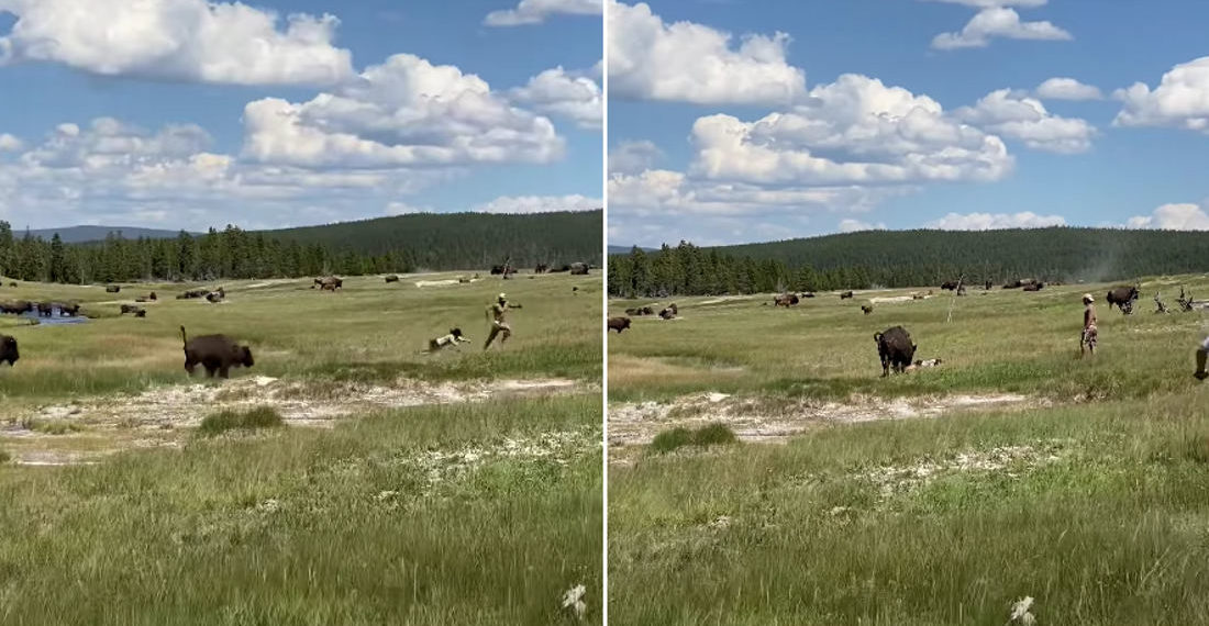 Close Calls: Woman Avoids Bison Attack By Playing Dead