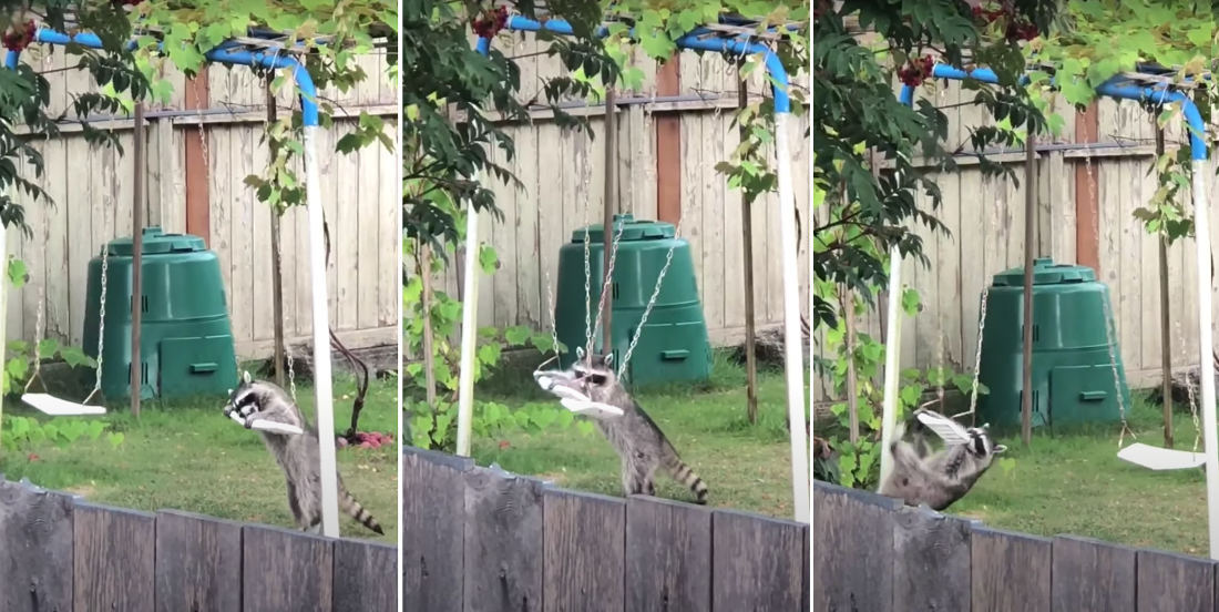 Whee!: Raccoon Playing On Kid's Swingset