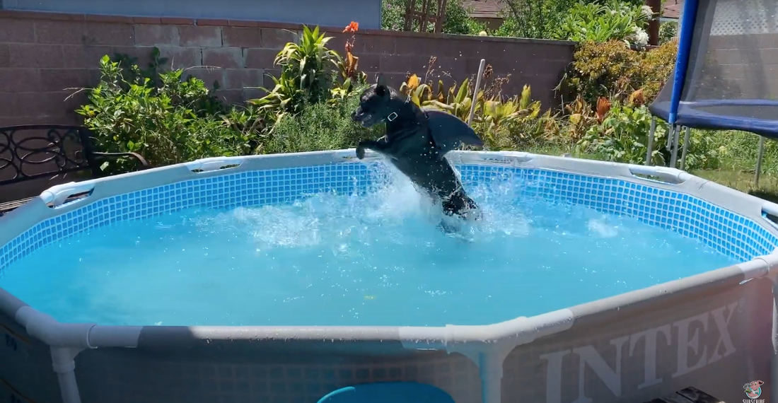 Dog Wearing Shark Fin Goes Buck-Wild In Pool