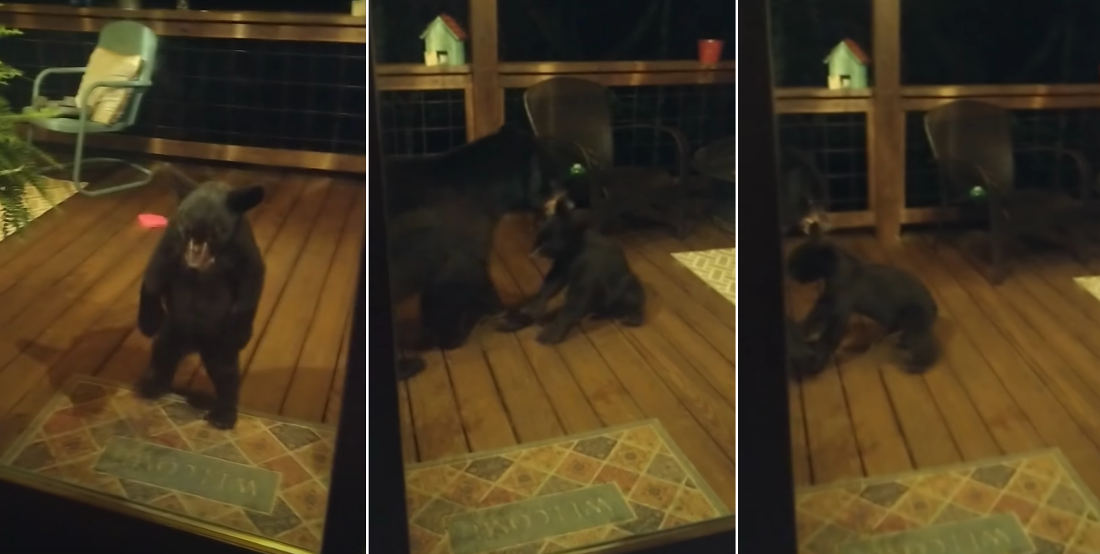 Baby Bear Gets Reprimanded By Mama Bear For Playing On Porch