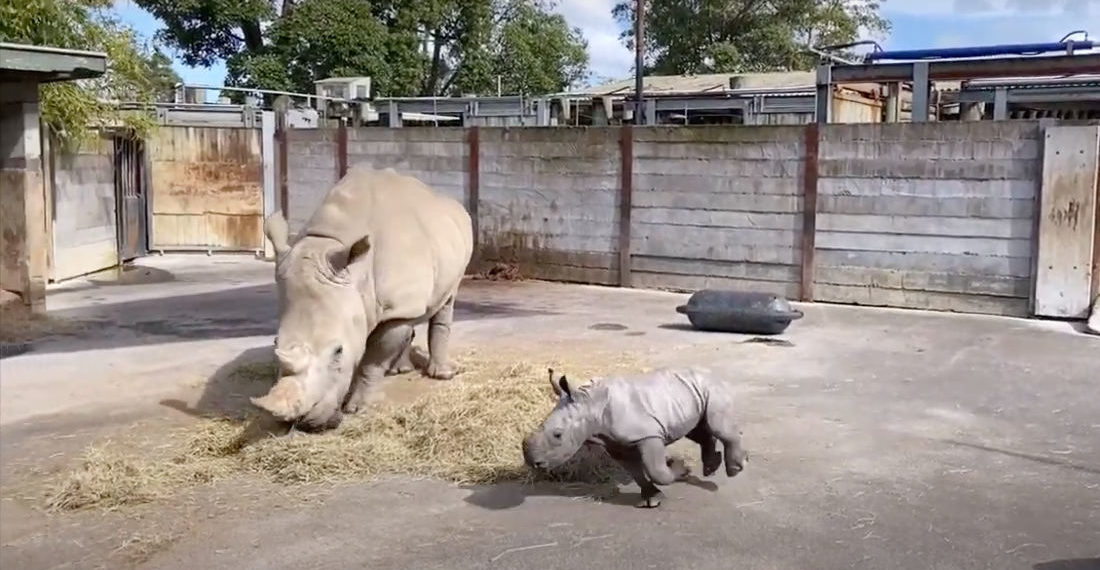 Awww: Newborn Baby Rhino With The Zoomies