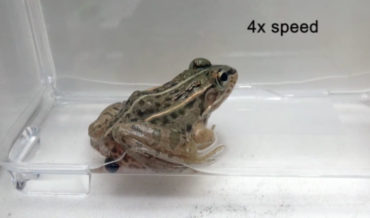 Beetle Species That Crawls Through Frog's Guts After Being Eaten To Escape Out Butt