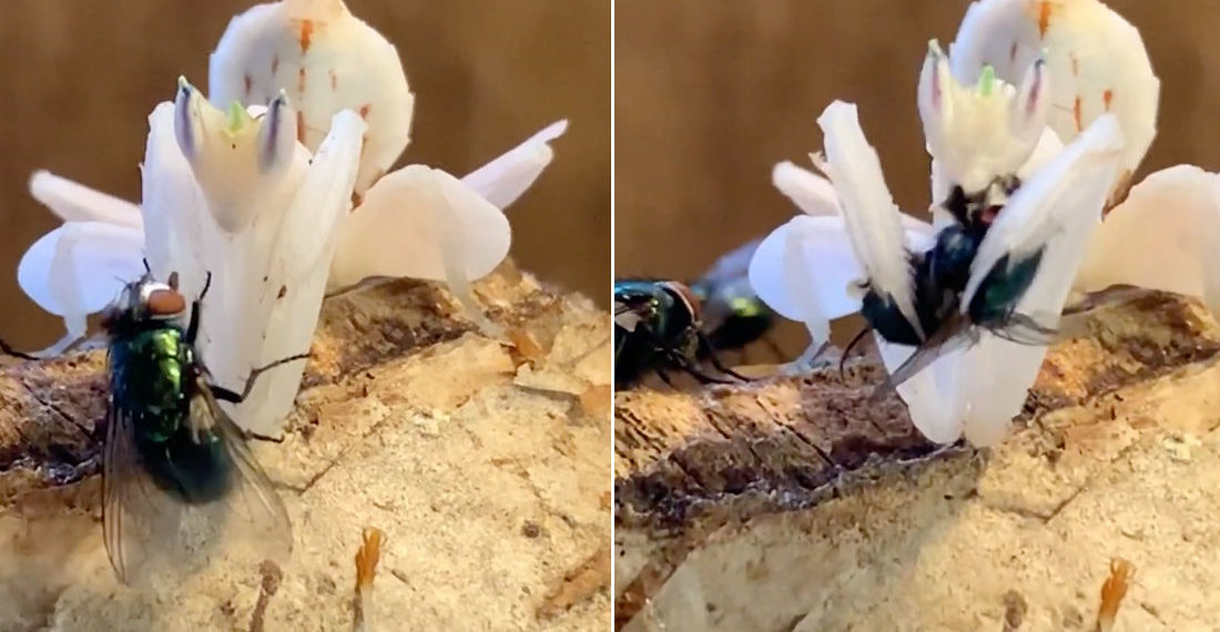 Whoa!: Close-Up Footage Of Orchid Mantis Feeding