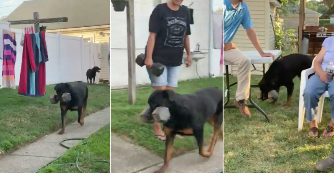 What The?: Dog Carries Around 30-Pound Dumbbell Wherever He Goes Like It's A Toy