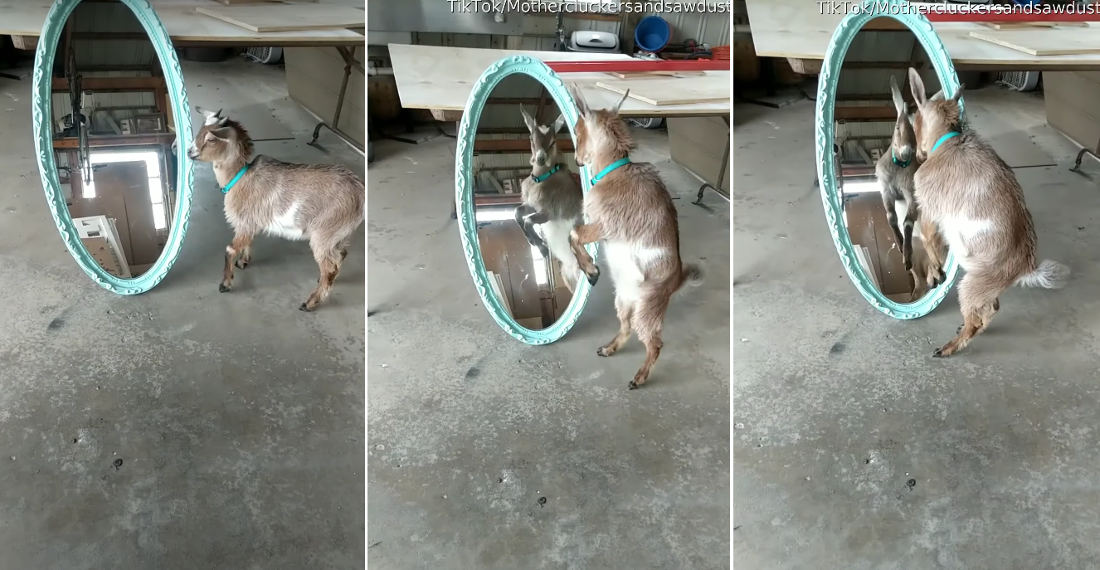 There Can Be Only One: Baby Goat Tries To Fight Self In Mirror