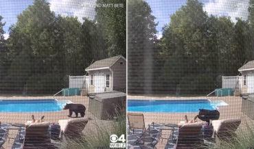 Excuse Me, Sir: Bear Politely Wakes Man Sleeping By Pool