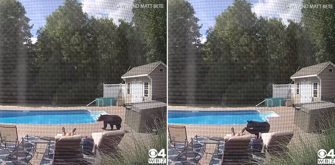 Excuse Me, Sir: Bear Politely Wakes Man Sleeping By Pool
