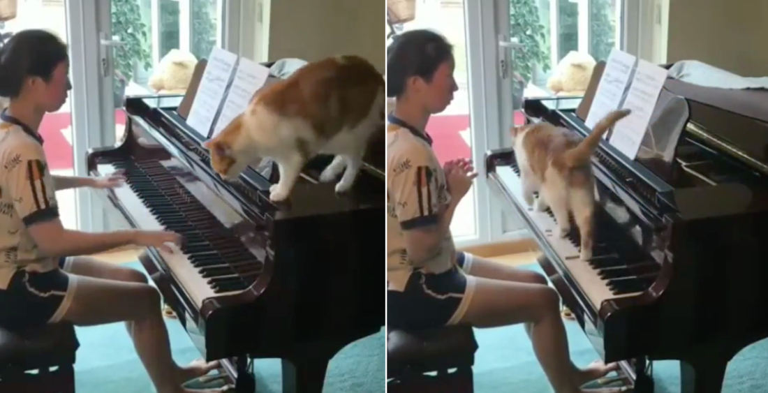 Meowzart: Cat Contributes To Piano Practice