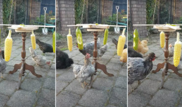 Whatever Works: This Homemade Spinning Chicken Exercise And Enrichment Wheel