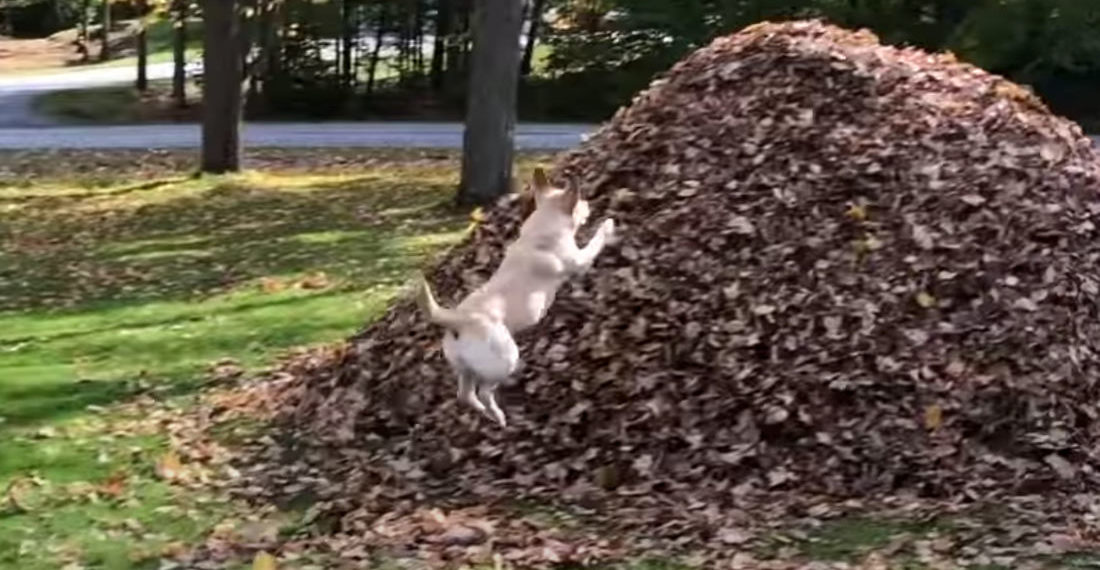 It's Fall, Ya'll: A Satisfying 60 Second Compilation Of A Dog Leaping Into Leaf Piles