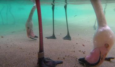 Fascinating: Underwater Footage Of Flamingos Feeding