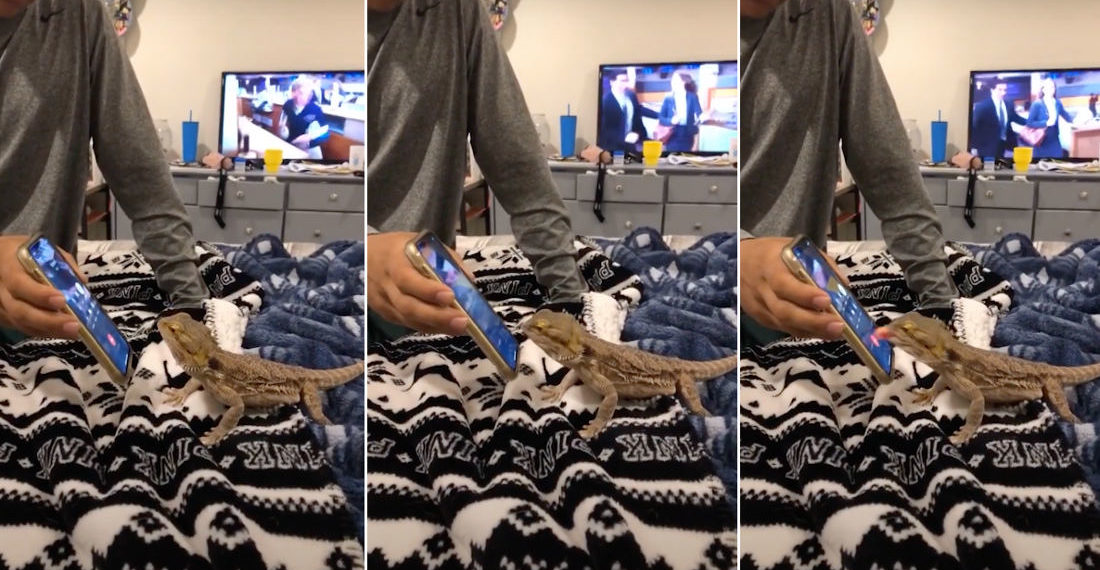 Lizard Hangs Up Owner's Phone With A Lick