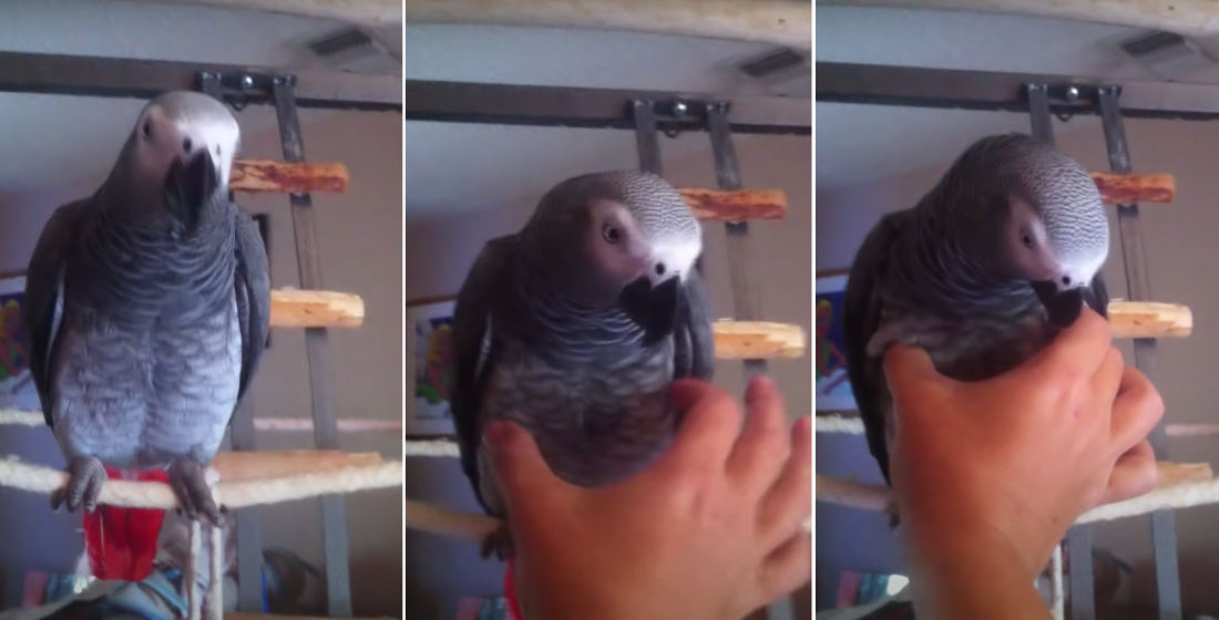 Parrot Does Spot-On Squeaky Toy Impression When You Give Him A Squeeze