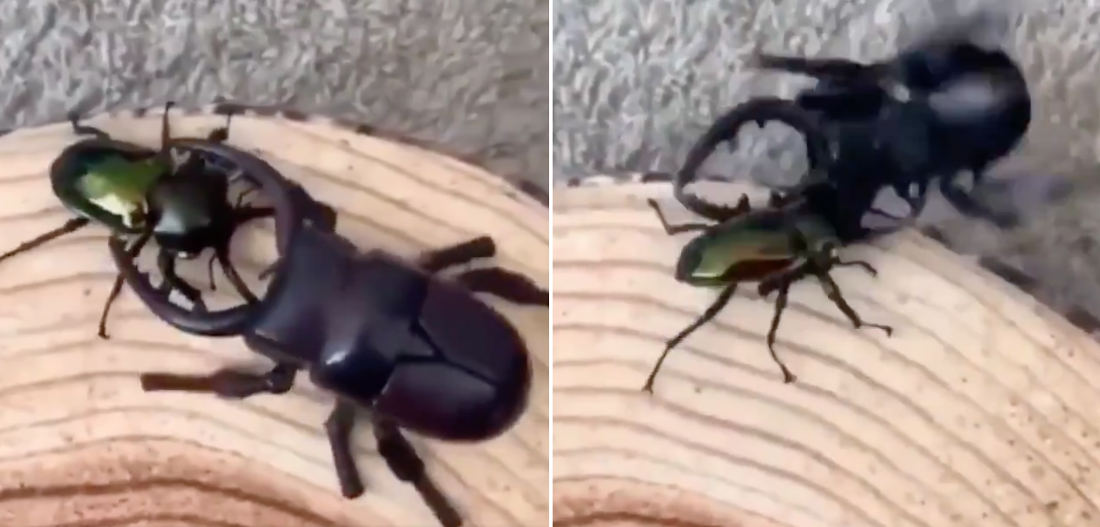 There Can Be Only One: Stag Beetle Vs Robotic Stag Beetle Fight