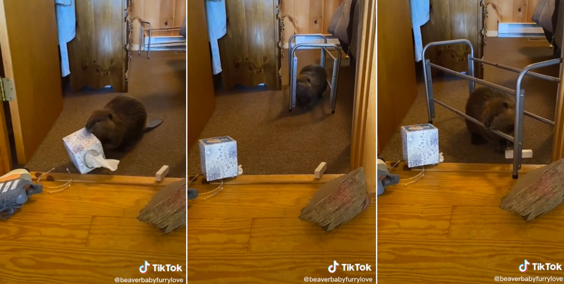 Awww: Rescue Baby Beaver Constructs Dam In House Out Of Whatever It Can Find