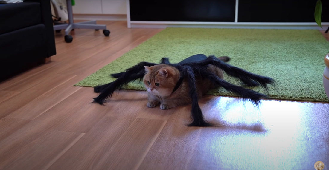 Cat Wearing A Spider Costume For Halloween