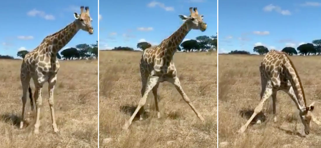 Valuable Info: How Giraffes Reach Ground-Level Food