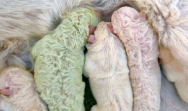 Pistachio, A Puppy Born With All Green Fur