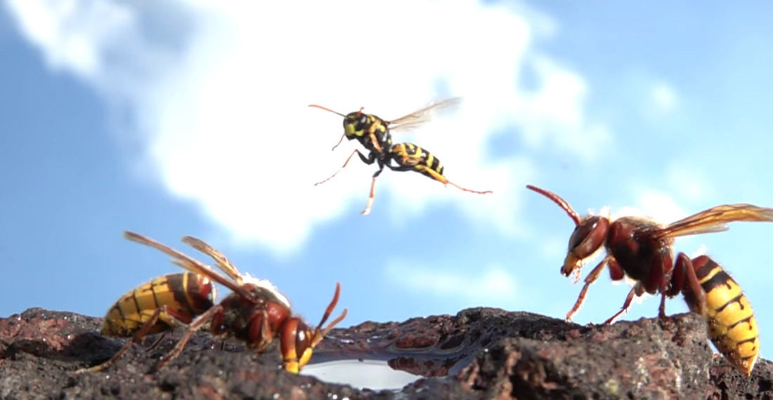 Whoa: Macro Video Of Hornets Flying In Slow Motion