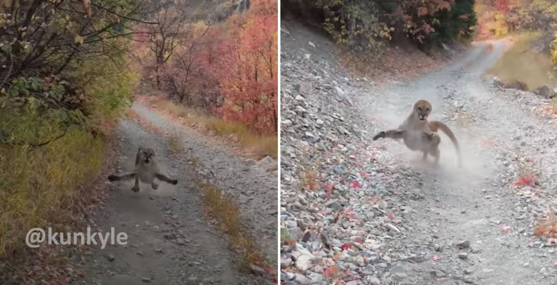 You Chose A Bad Day To Nature: Mountain Lion Stalks Man For Six Minutes During Hike