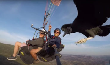 Trained Vulture Lands On Paraglider's Selfie Stick While Guiding Them To Updraft