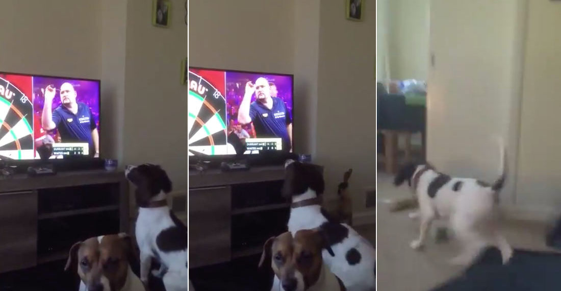Awww: Dog Thinks Dart Players On Television Are Playing Fetch With Him