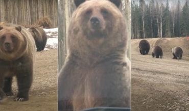 Grizzly Bear Stands Up In Front Of Truck, Shows Full Size