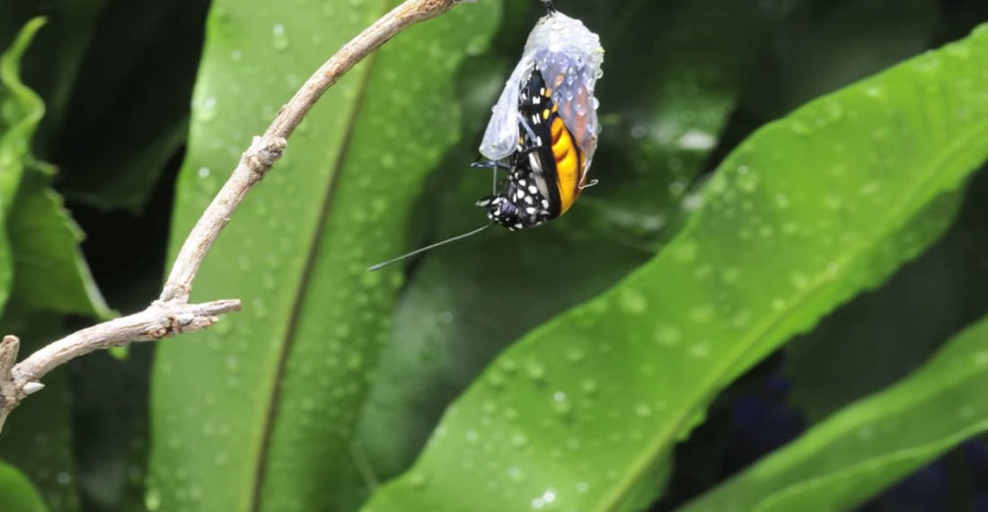 Timelapse Of Monarch Butterfly Emerging From Chrysalis