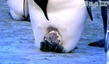Robotic Spy Penguin Captures Moment Of Emperor Penguin Hatching