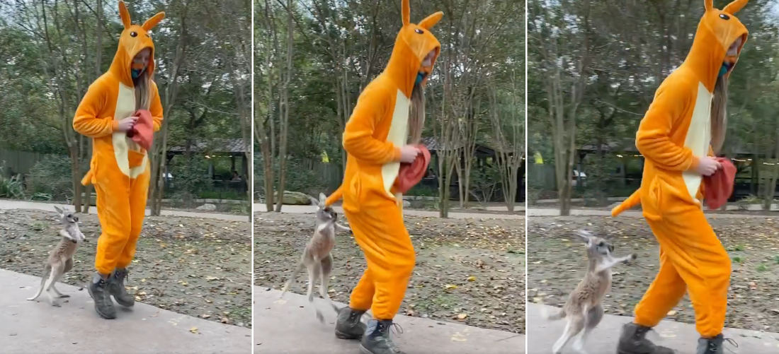 Precious Moments: Woman In Kangaroo Onsie Teaches Orphaned Joey How To Hop