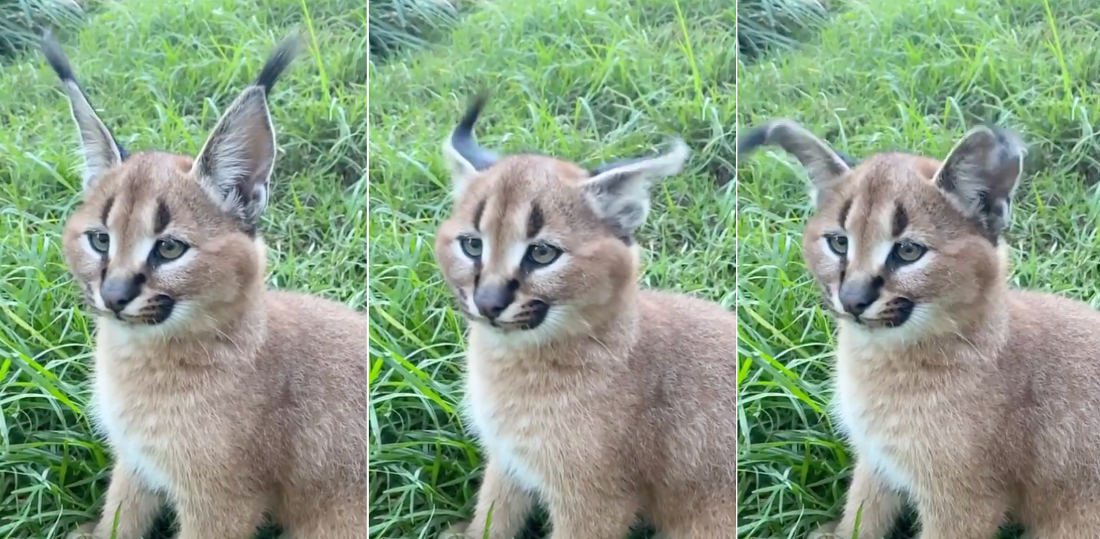 Whoa!: A Caracal Kitten Performs A Perfect Ear Flick