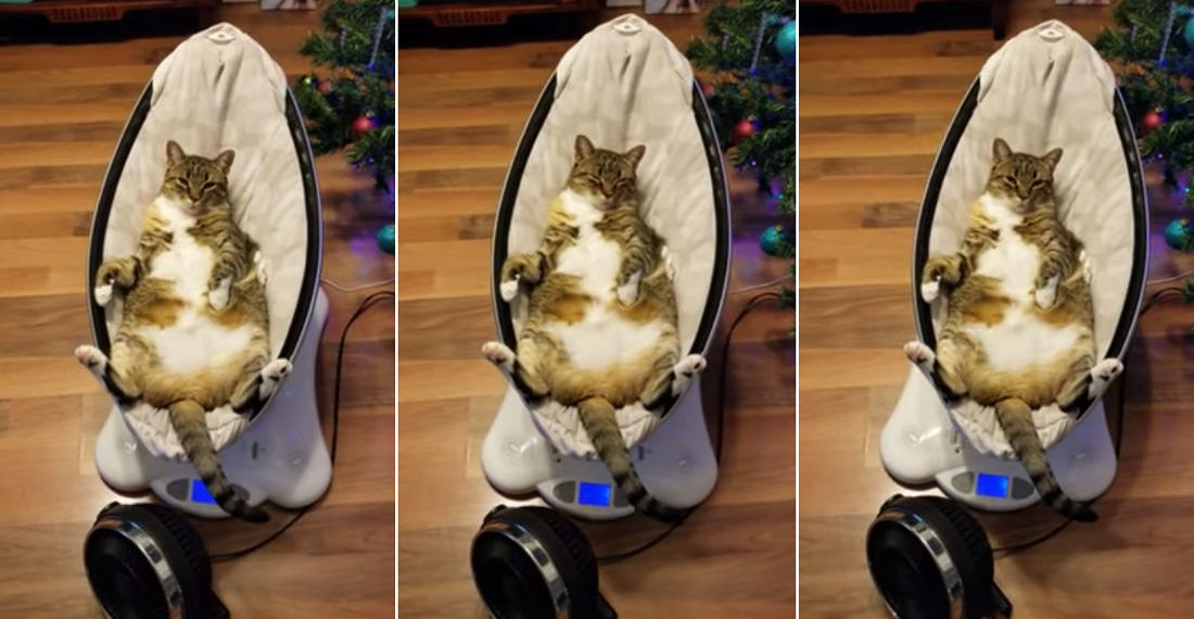 Fat Cat Relaxes Belly-Up In Automatic Baby Rocker