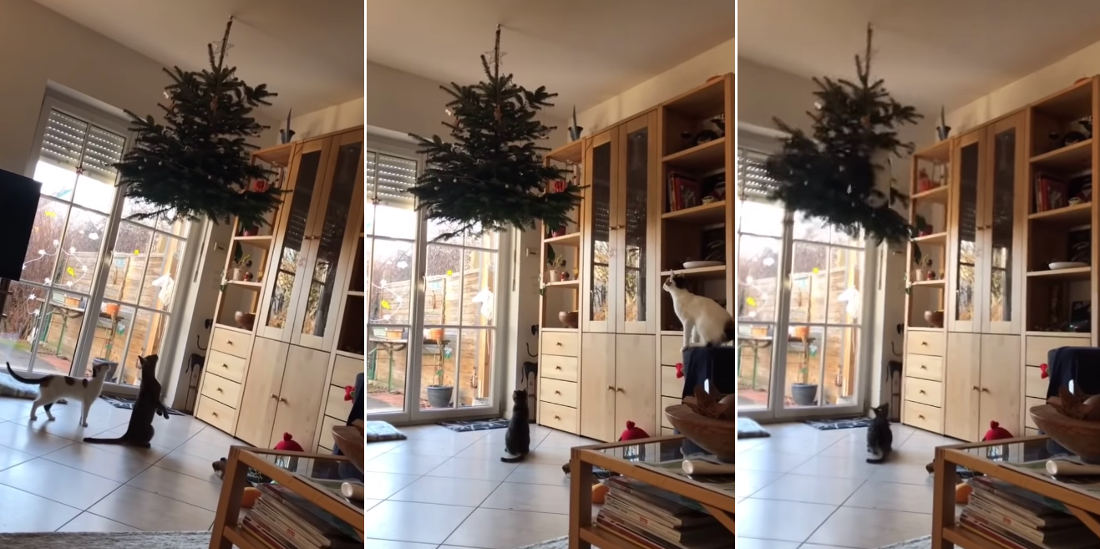 Hanging Christmas Tree Fails To Deter Cat Attack