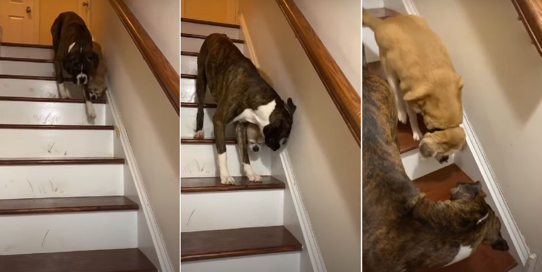 Awww: Dog Helps Blind Friend Down Stairs
