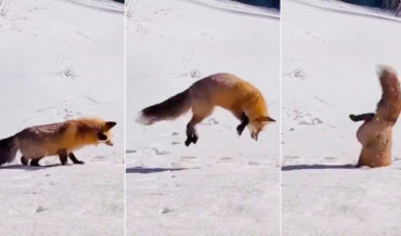 Mad Skills: Fox Makes Dive Into Ice Hole For Fish