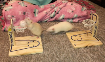 Two Trained Rats Play A Friendly Game Of Basketball