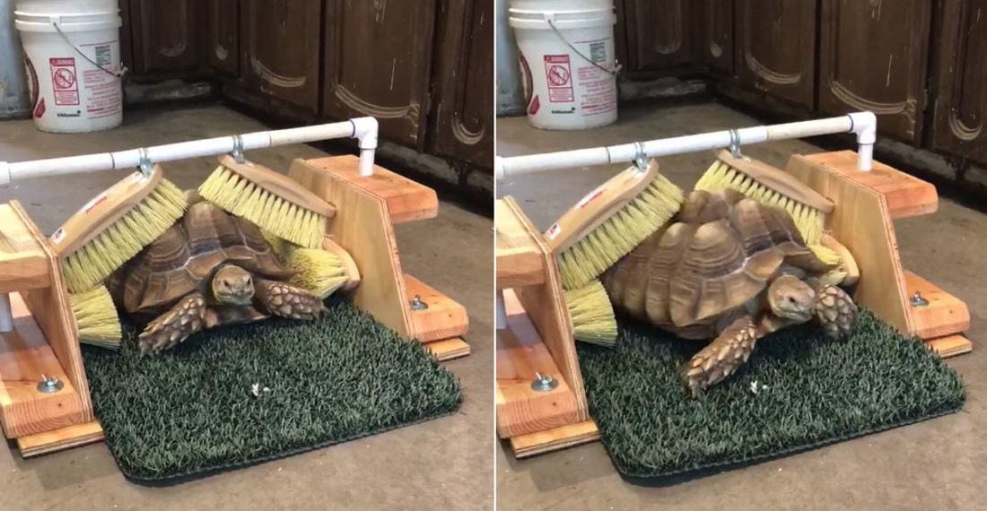 Scratch That Itch: Tortoise Scratches Itself In Custom Made Shell Brush System